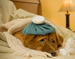 A brown dog laying sick in bed with a ice pack on his head and a blanket around him